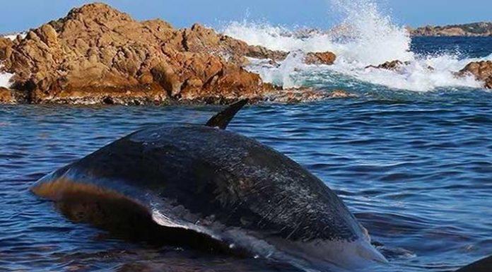 Νεκρή φάλαινα στη Σαρδηνία είχε καταπιεί 22 κιλά πλαστικού