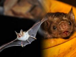 Δολοφονία νυχτερίδων στο Περού - κορονοϊός