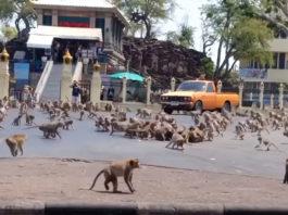 (Βίντεο) Μαϊμούδες παλεύουν για φαγητό μετά την επιρροή του κορονοϊού στον τουρισμό της Ταϊλάνδης