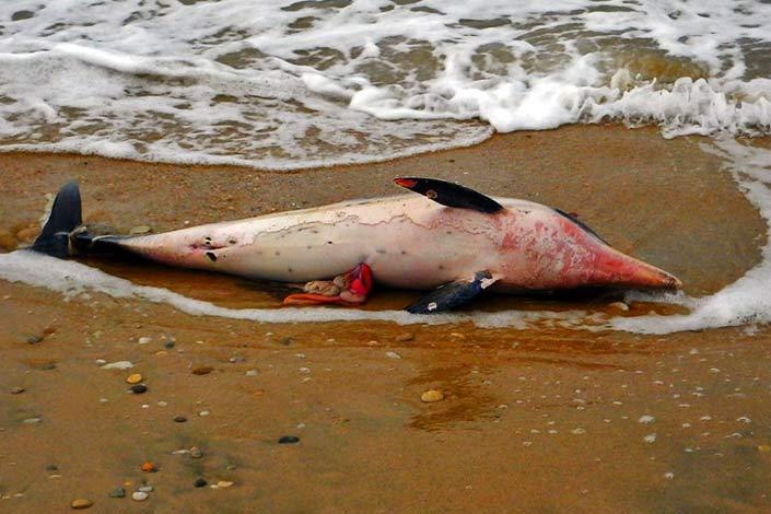 Νεκρό δελφίνι στη Θάσο - πιθανότητα δολοφονίας
